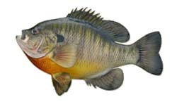 Stock My Pond with Bluegill